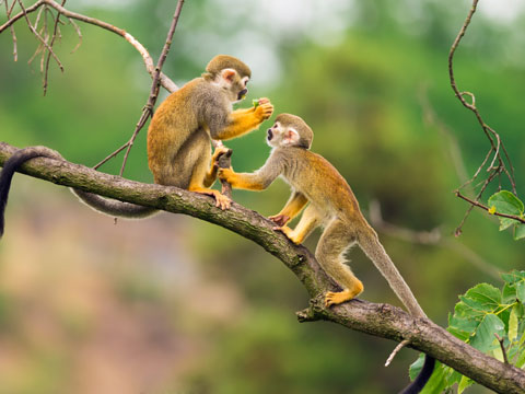 Two small golden coloured squirrel monkeys playing together on a branch in Peru