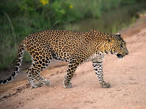 Lone leopard crossing a jungle track in Sri Lanka