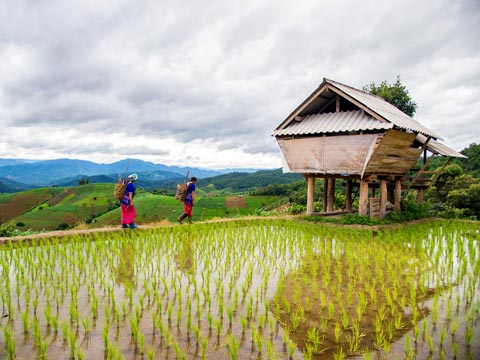 Two Hmong women in brightly coloured traditional clothes walking along a paddy field to their home
