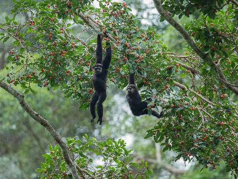Two black-handed gibbons swinging through the rainforest canopy in Thailand