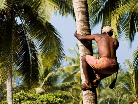 Man climbing a palm tree to collect coconuts in Kerala