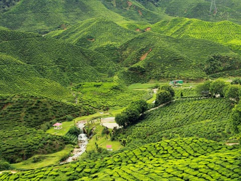 Vibrant green tea plantation and forested hills of North East India