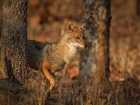 Golden jackal jumping between trees in India
