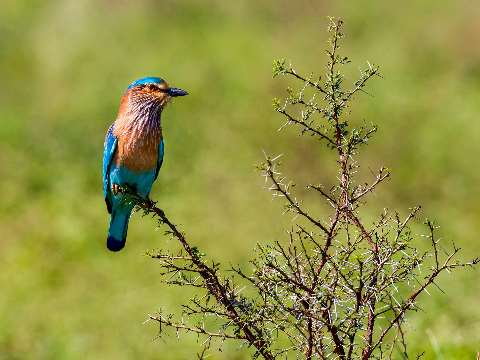 Indian roller perched on a branch in an Indian national Park