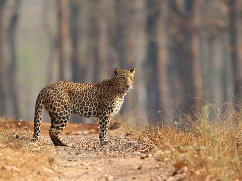Lone leopard on a forest path in Nagarhole National Park