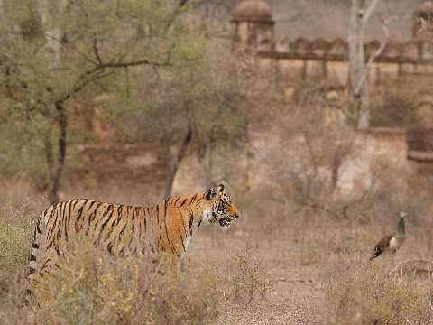 Tiger standing silently in the dusty scrub of Ranthambore National Park