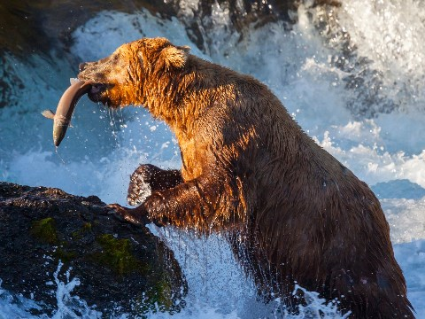 Brown bear catching a leaping salmon in a turbulent Alaskan river