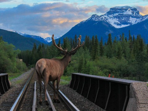 Elk facing away from camera walking on railway tracks with mountain in the background