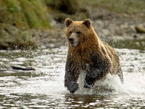 Grizzly bear running through river in British Columbia