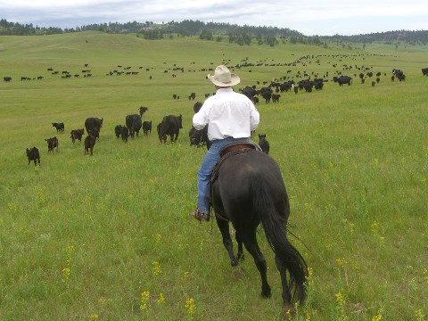 Man riding his horse with cattle in the background