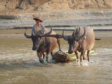 Farmer ploughing their paddy field with two bison in rural Burma